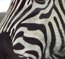 zebra close!  by uptzphotography