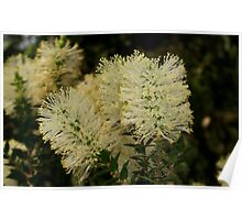 Scented Paperbark Poster