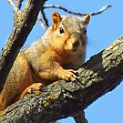 A Beautiful Squirrel by lorilee