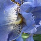 Pale Blue Bearded Iris, Botanical Gardens, Adelaide. by Rita Blom