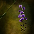 Hardenbergia by Sue-ann Tilby Photography