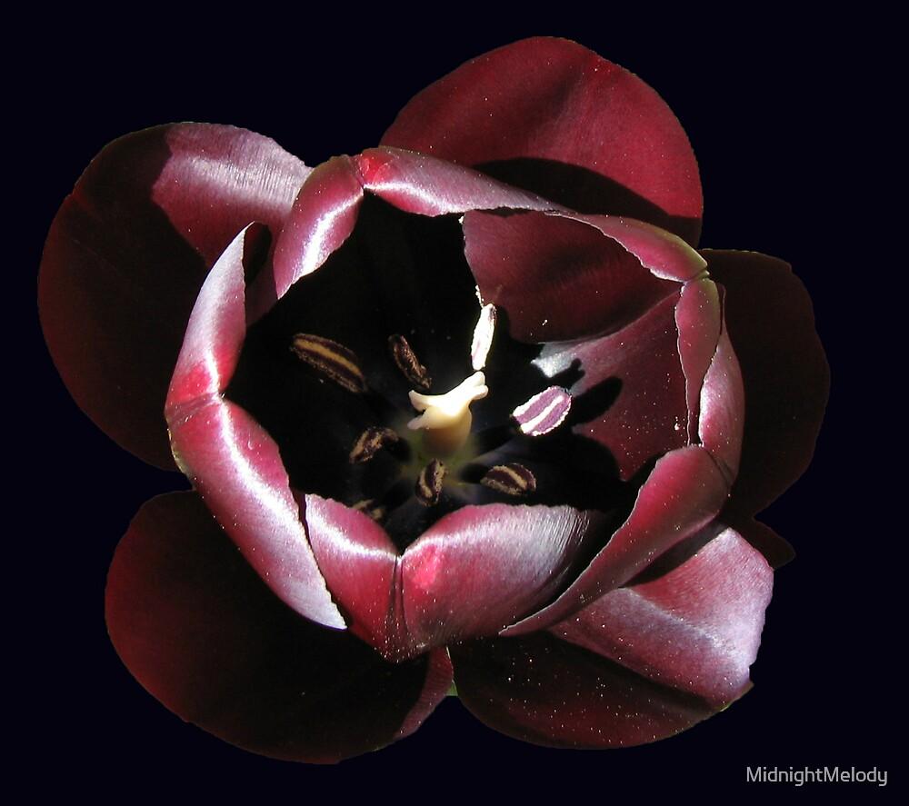 Beautiful Dark Tulip on Black Background by MidnightMelody
