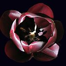Beautiful Dark Tulip on Black Background by MidnightMelody