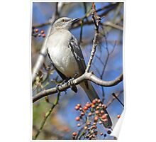 Beautiful Northern Mockingbird Poster