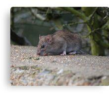 Common Brown Rat Canvas Print
