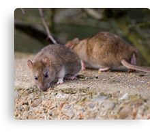 Common Brown Rats Canvas Print
