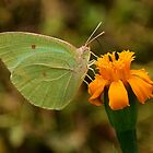 Green Butterfly by Ikramul Fasih