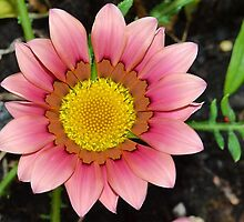 Pink Gazania ..... thank you Sharon ! by relayer51