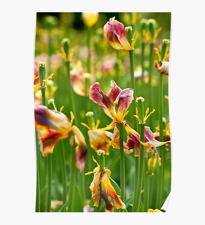 Dry Tulip Field Poster