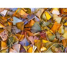 Fall Ginkgo Leaves Photographic Print