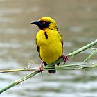 Southern Masked Weaver by Elizabeth Kendall