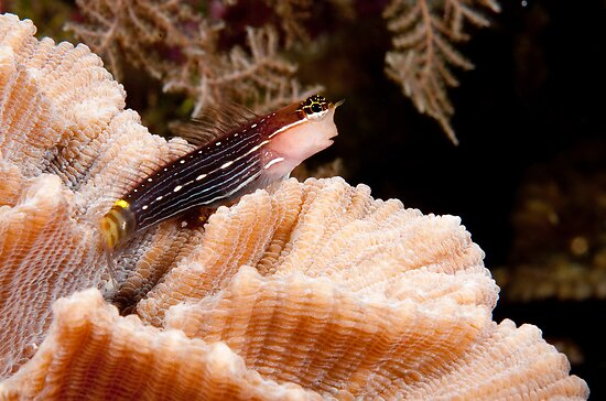 Pictus Blenny, Wakatobi National Park, Indonesia by Erik Schlogl