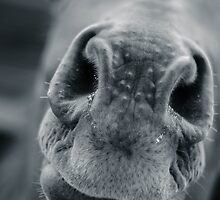 Horse nose macro by a h