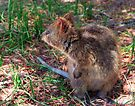 Quokka on Rottnest Island by Yukondick