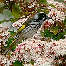 New Holland Honey Eater by Murray Wills