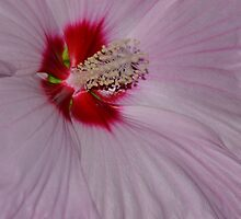 Pink  Hibiscus by Kathleen Struckle