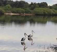 Kingscliff pelicans by Ron Finkel