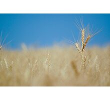 ripe Wheat field before harvest  Photographic Print