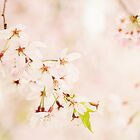 Cherry blossom by LittleBlueWren