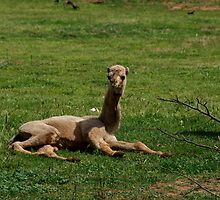 Camel Calf by GP1746