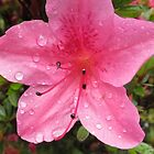 Pink Flower with Water Droplets by Cole Palmer