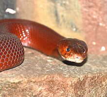 Red Spitting Cobra by neil harrison