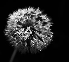 Dandelion in Monochrome by jamesdt