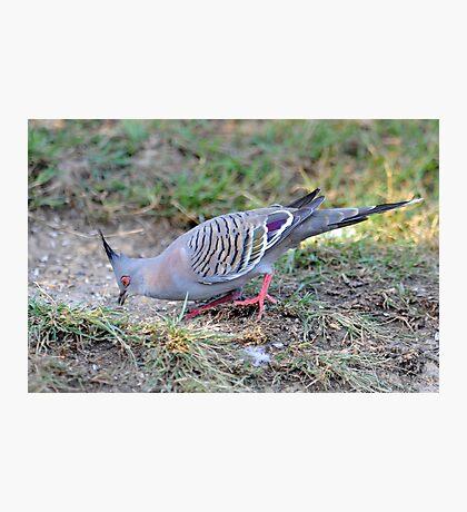 Crested Pigeon At Cedar Creek, Queensland, Australia. (2) Photographic Print