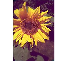 Old Photo of a Sunflower with Hasselblad crosshairs Photographic Print