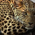 Leopard near Stanleys Camp, Botswana by Neville Jones