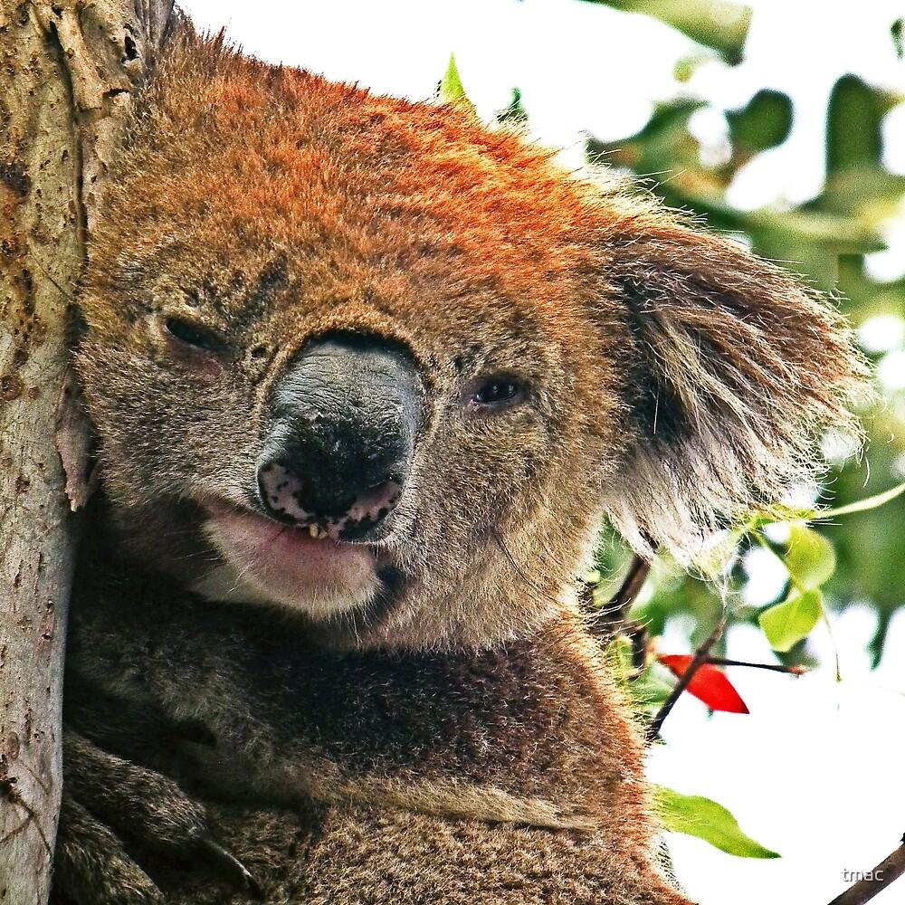 Otways Koala by tmac
