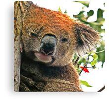 Otways Koala Canvas Print