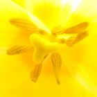Yellow Tulip In Macro by tmac