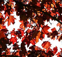 Red leaves on Tree by Phillip Shannon