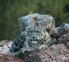 Snow Leopard by Georden