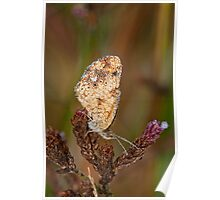 Pearl Crescent Butterfly Covered with Dewdrops Poster