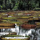 Waterlily Pond by tropicalsamuelv