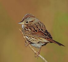 Lincoln's Sparrow by photosbyjoe