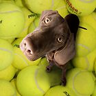 Chocolate Lab on Tennis Balls by TinaGraphics