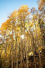Aspens and Sunshine by William C. Gladish