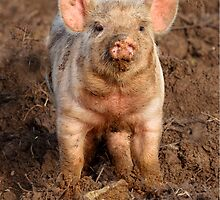 Inquisitive Piglet in field by Dave  Knowles