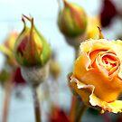 Budding Rose by Natasha M