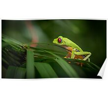 Costa Rican Red Eye Tree Frog Poster