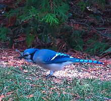 A Blue Jay fan! by MarianBendeth