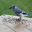 Curly the Blue Jay by Rose Landry