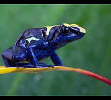 Blue dartfrog by Angi Wallace
