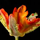 Red eyed tree frog on parrot tulip by AngiNelson
