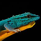 Electric blue gecko by Angi Wallace