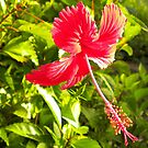 Red Hibiscus by tropicalsamuelv