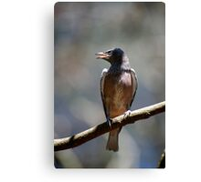 White Browed Swallow Chick Canvas Print